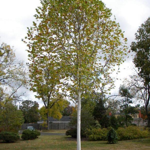 Plane Tree Care: Learn About London Plane Trees In The Landscape