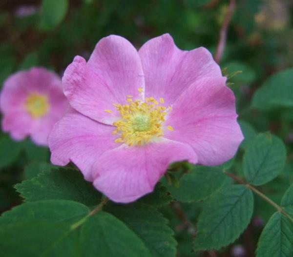 Rosa acicularis – Prickly Wild Rose