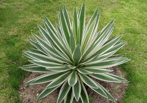 Agave - Tips for Growing this Easy Succulent