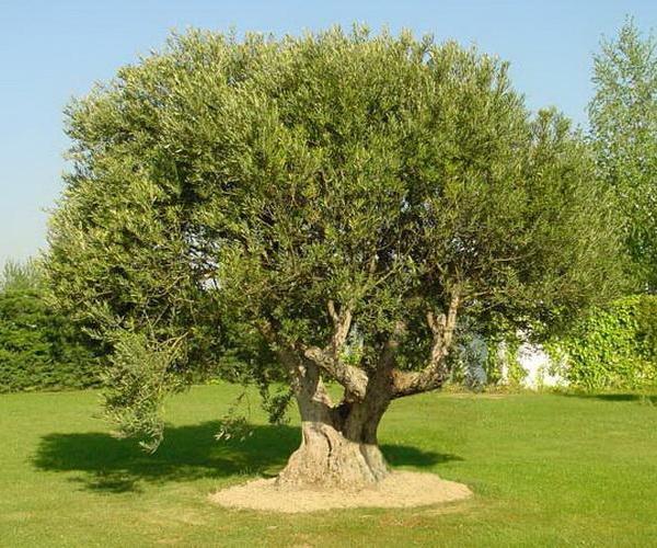 Plantación y cultivo del olivo
