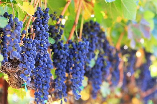 Companion Planting With Grapes