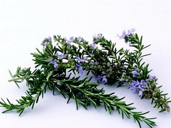 How to Split Rosemary Plants