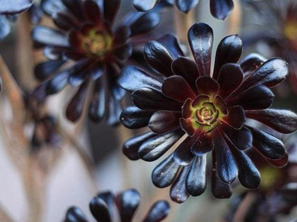 How to Grow Aeonium Plants