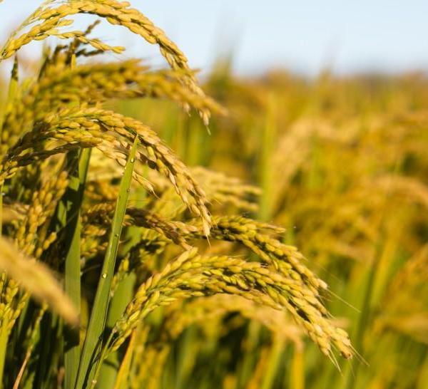 即将丰收的水稻图片