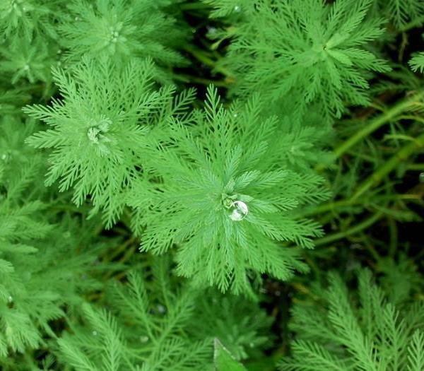 粉绿狐尾藻图片