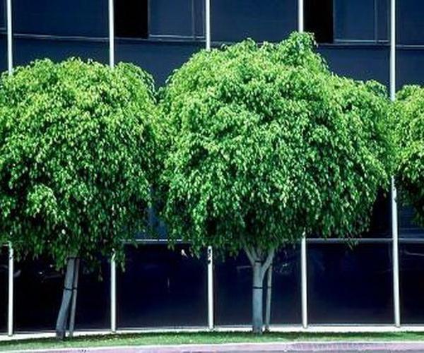 Plantas de Interior: El Ficus
