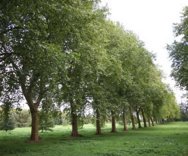 El Plántano, un árbol muy resistente