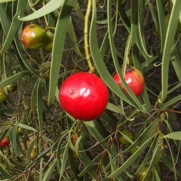 Quandong Fruit Trees – Tips On Growing Quandong Fruit In Gardens