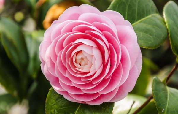 你确定你真的能分清月季和玫瑰?