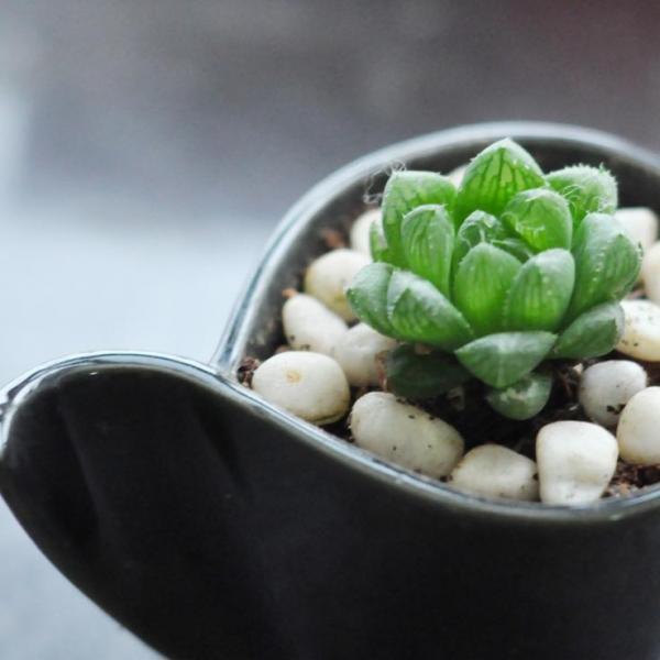 玉露扦插繁殖方法