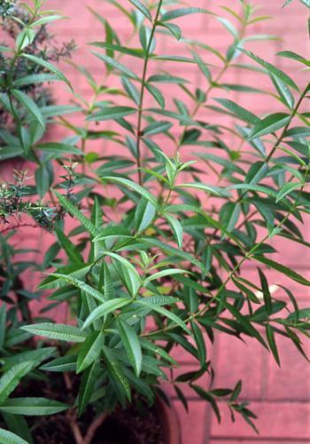 レモンバーベナの特徴と栽培方法