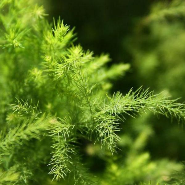 文竹养护中应掌握哪些关键技术