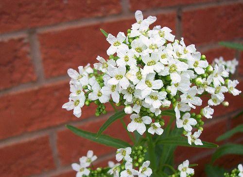 Horseradish Plant Has Flowers – Should You Cut Horseradish Flowers