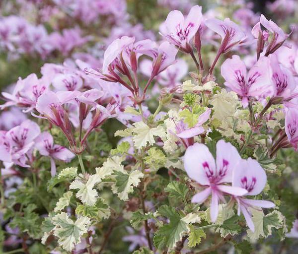 Scented Geranium Care: How To Grow Scented Geranium