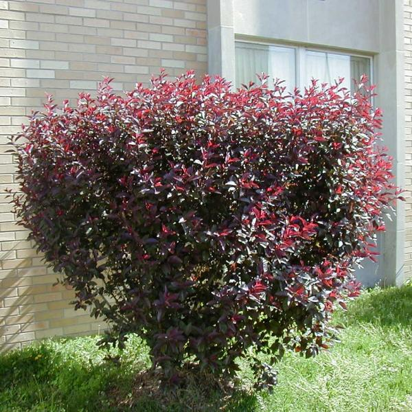 Pruning Plum Leaf Sand Cherry: When And How To Prune A Purple Leaf Sand Cherry