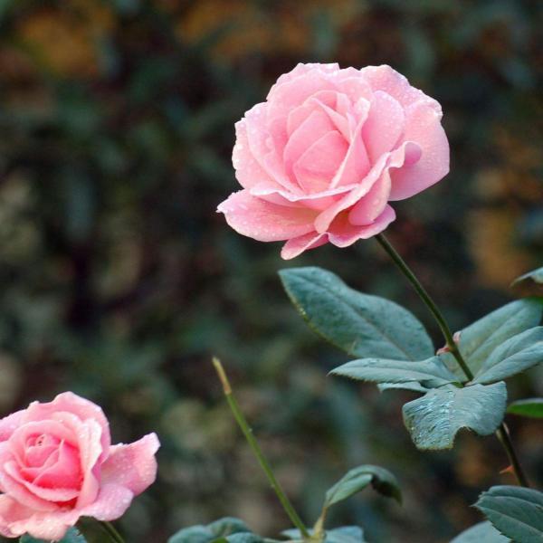月季花的施肥方法