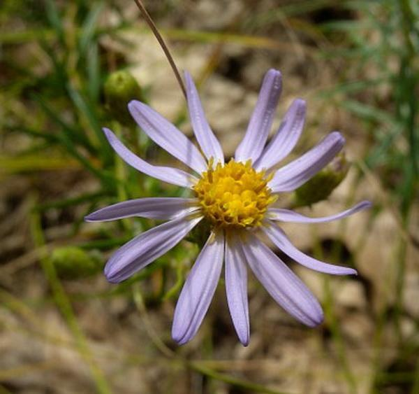 Flax-Leaved Aster