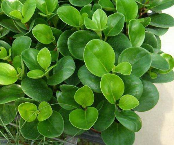 日常生活中较为常见的风水植物简介