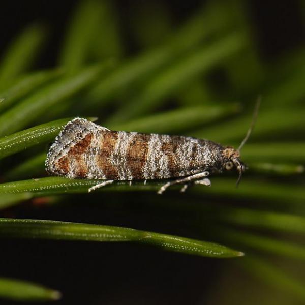Pine shoot moths