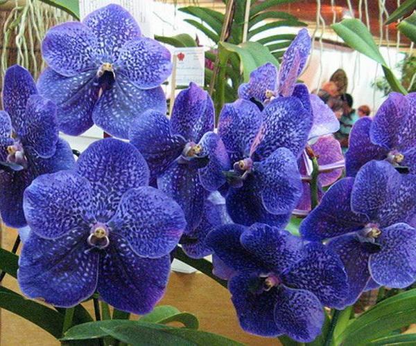 Cultivo de la orquídea Vanda