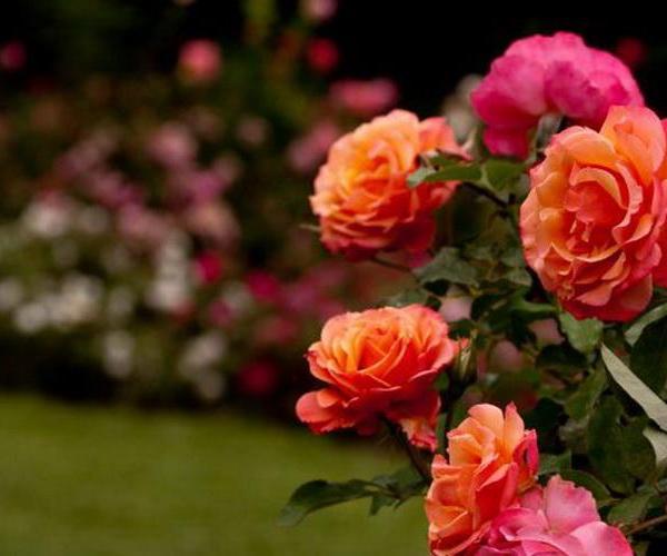 Injerto en rosales (Rosas)