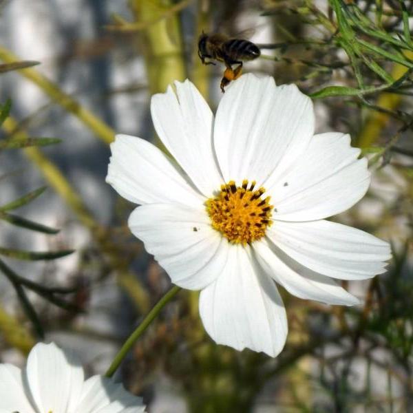波斯菊花图片