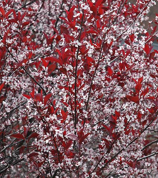 Sand Cherry Plant Care: How To Grow A Purple Leaf Sand Cherry