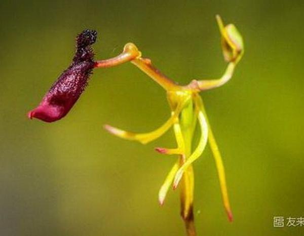 铁锤兰的繁殖方式