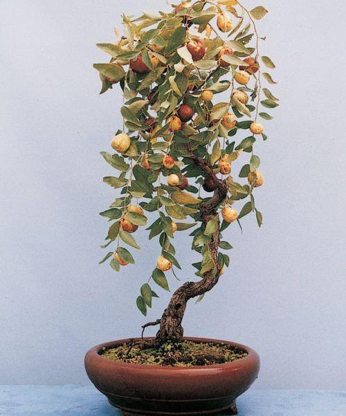 盆栽枣树图片