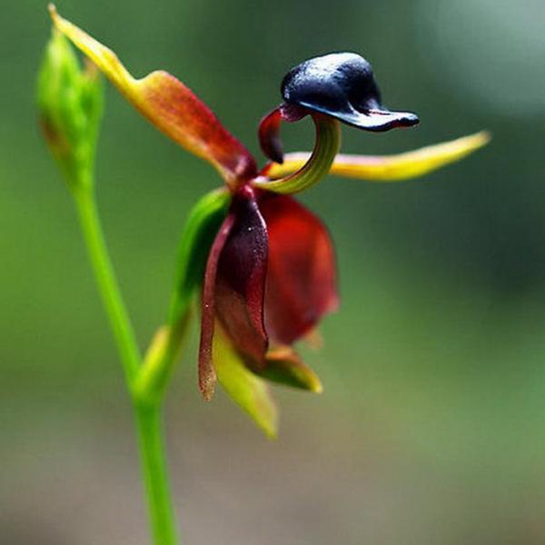 花态神似凌空飞起的小鸭子——飞鸭兰