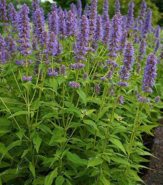 Agastache Flower – How To Grow Agastache