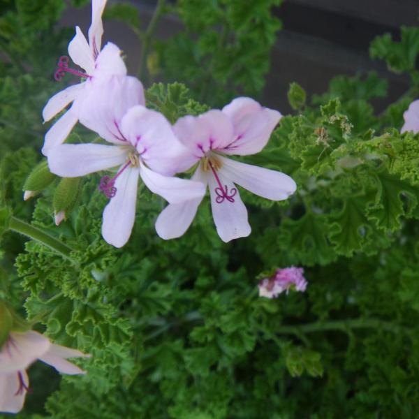 Prince Of Orange Flower Info: Prince Of Orange Scented Geranium Care