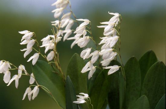 プレウロタリスの特徴と種類