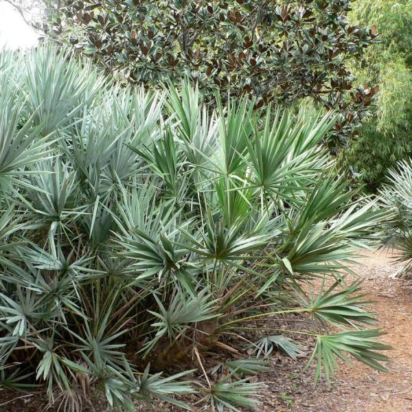 Saw Palmetto Plant Care: How To Grow Silver Saw Palmetto Plants