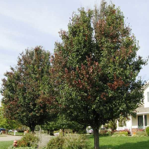 What to Do About Fire Blight on Bradford Pear Trees