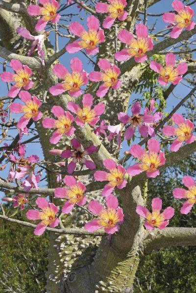 Toborochi Tree Information: Where Does The Toborichi Tree Grow