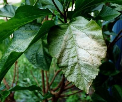 Plant Leaves Turning White Or Pale: Learn About Plant Sunburn Damage