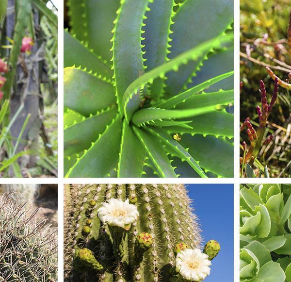 7 Healthy Edible Succulents