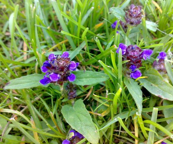 Growing Prunella: Tips For Growing The Common Self Heal Plant