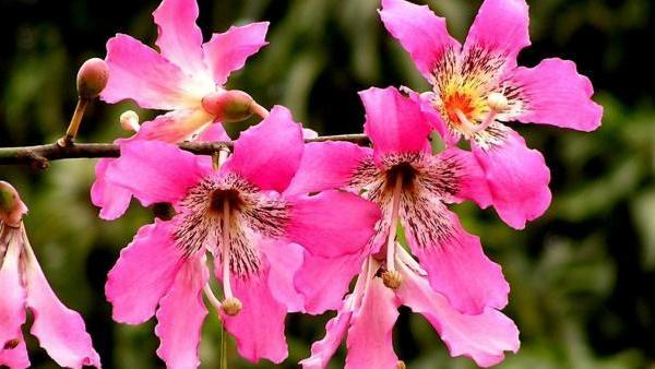 About Floss Silk Trees: Tips For Planting A Silk Floss Tree