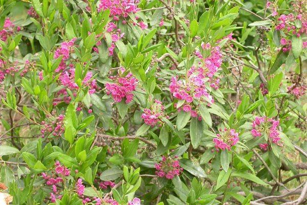 Kalmia angustifolia – Sheep Laurel