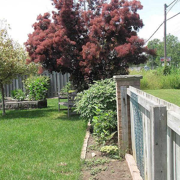 Growing And Planting Smoke Trees In The Landscape