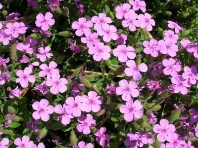 Growing Soapwort: Tips For Soapwort Herb Care