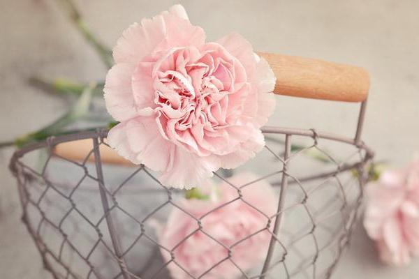 Carnation—Mito enjoy