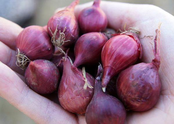 How to Grow Red Onions From Bulbs