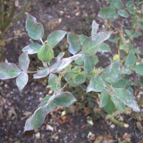 Get The Cure For Powdery Mildew