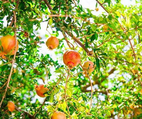 Árboles frutales: el granado