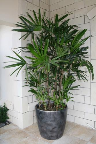 Fan Palm Houseplant: How To Grow Fan Palm Trees Indoors
