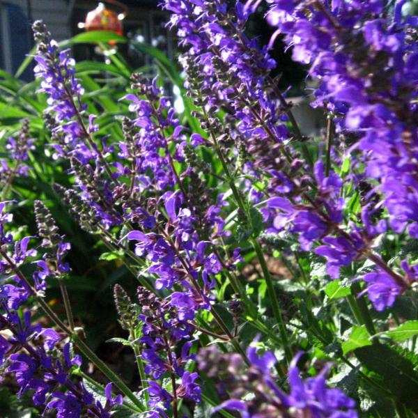 Catmint Herb: How To Grow Catmint