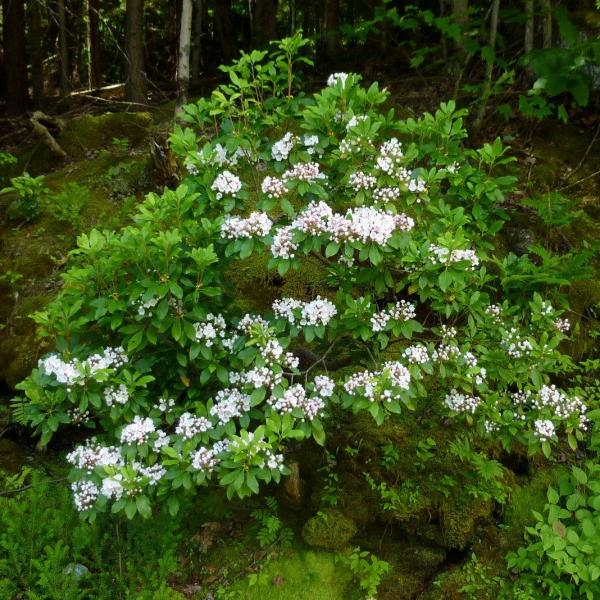 Kalmia latifolia – Mountain Laurel